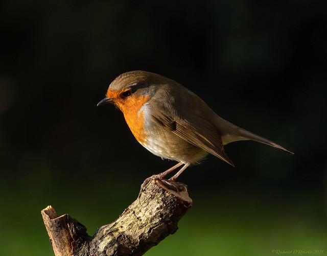 European robin portrait