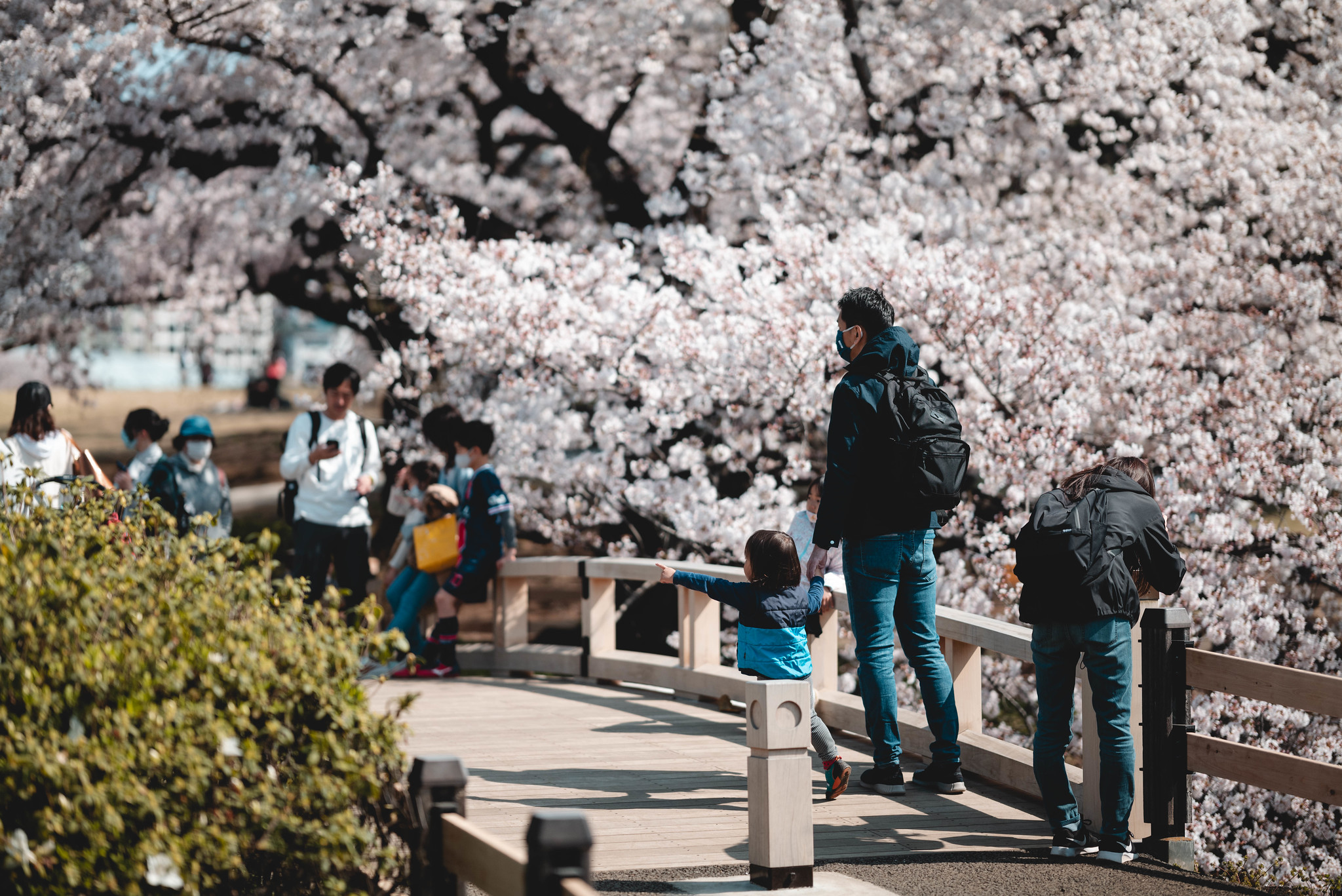 person who visits cherry blossoms