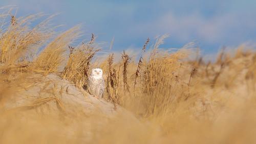bird beach newjersey owl holgate edwinforsythe sand snowyowl buboscandiacus winter grass fauna sunrise coast open walk sunny hike hidden coastal grasses refuge nationalwildliferefuge behavior respect snowy raptor