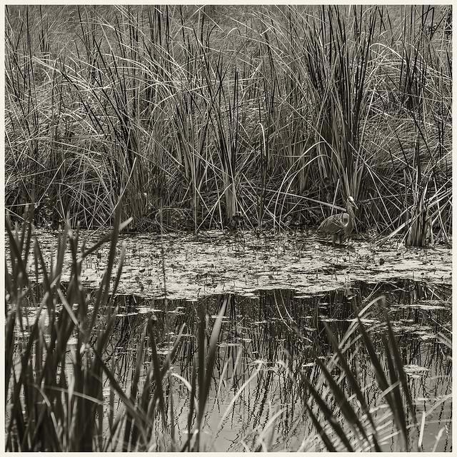 Lake Woodruff #13 2021; Great Blue Heron