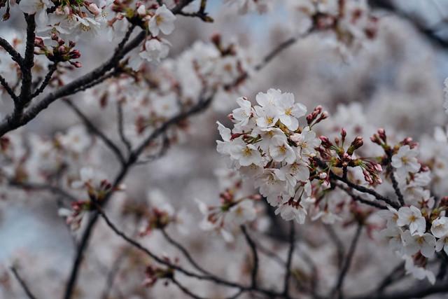 Sakura_20210327 (2)