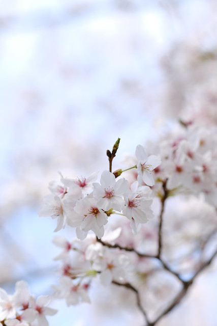 Cherry blossoms in front of my house. (2021)