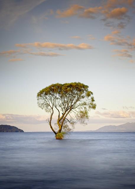 That Taupo tree again...