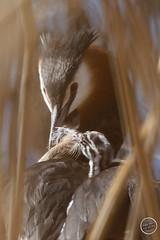Grèbe huppé - Podiceps cristatus - Great Crested Grebe : IMG_0878_©_Michel_NOEL_2021_au_Lac_de_Creteil