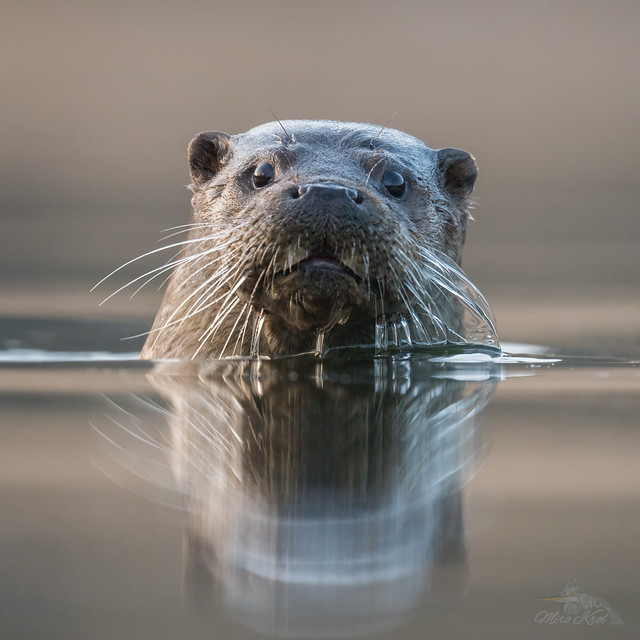 Lutra lutra/Otter/Wydra