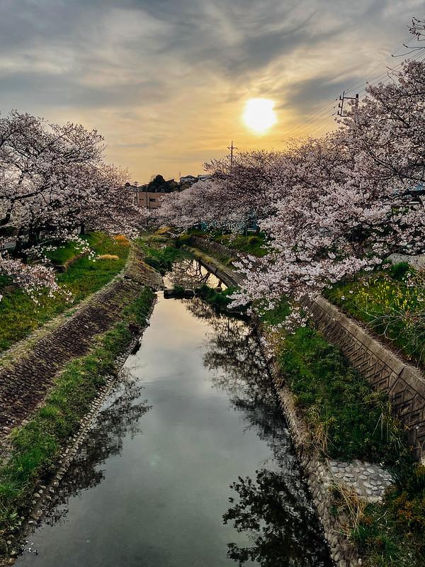 Sakura_20210327 (12)