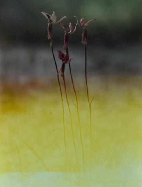 Caladenia roei, Stirling Range, WA, 06/10/79