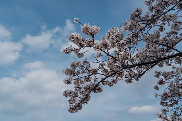 Sakura_20210327 (3)