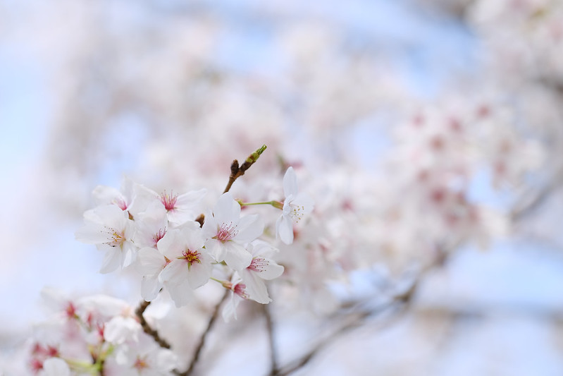 Cherry blossoms in front of our house. (2021)