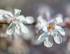 Magnolia Stellata in the Sun