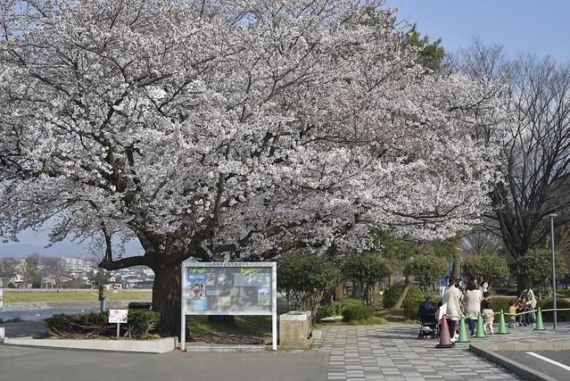 Spring Time 8_2 開花宣言その2