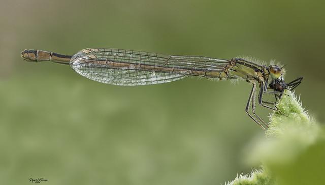 Ischnura elegans (Vander Linden, 1820)