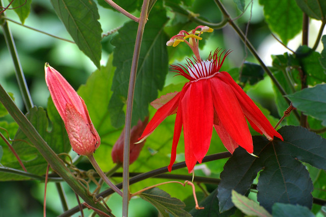 Passion Flower and Buds, New York Botanical Garden, Bronx, New York