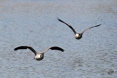 Bernache du Canada - Branta canadensis - Canada Goose : IMG_0894_©_Michel_NOEL_2021_au_Lac_de_Creteil