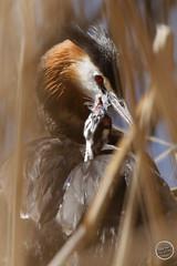 Grèbe huppé - Podiceps cristatus - Great Crested Grebe : IMG_0887_©_Michel_NOEL_2021_au_Lac_de_Creteil