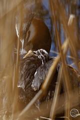 Grèbe huppé - Podiceps cristatus - Great Crested Grebe : IMG_0876_©_Michel_NOEL_2021_au_Lac_de_Creteil