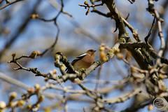 Pinson des arbres - Fringilla coelebs - Common Chaffinch : IMG_0849_©_Michel_NOEL_2021_au_Lac_de_Creteil