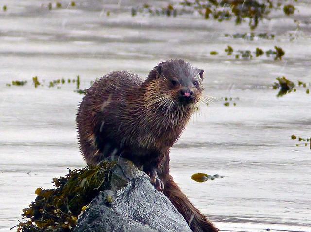 Otter, Ardnamurchan