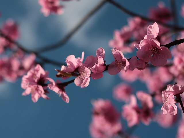 Sakura season has started