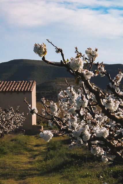 Cherrys bloom