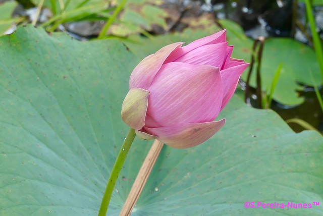 A big button of water-lily flower, lotus flower, Suriname