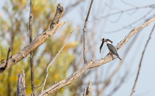 Belted Kingfisher (Martin-pêcheur d'Amérique) - Miraculous catch of fish