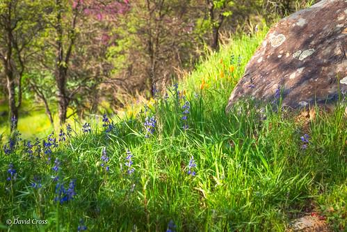 california spring californiapoppy landscape sierranevadafoothills lightroom6 poppies topazstudio canonef24105mmf4lisusm canon5dmarkiii nevadacounty lupine