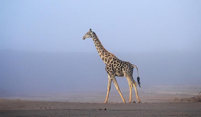 Giraffe in Namibia (Skeleton Coast)