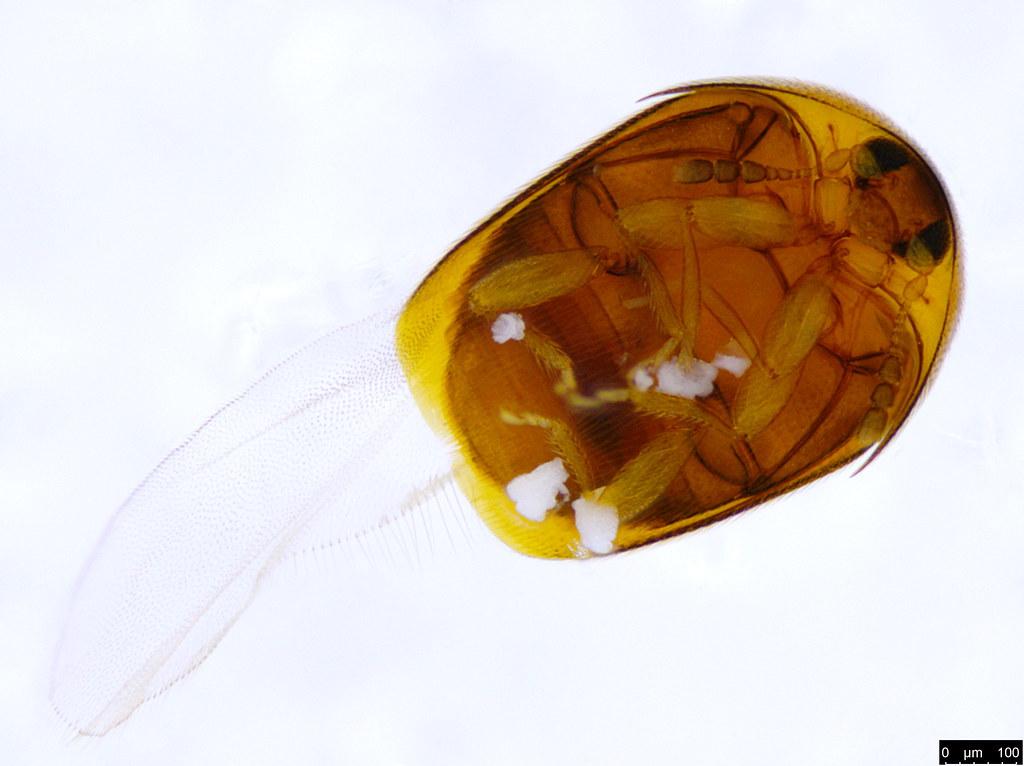 6b -  Ptiliidae sp.