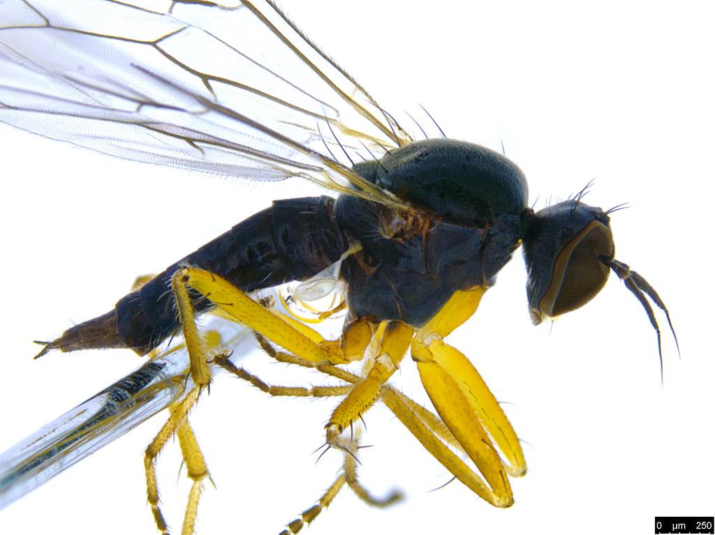 9b - Diptera sp.