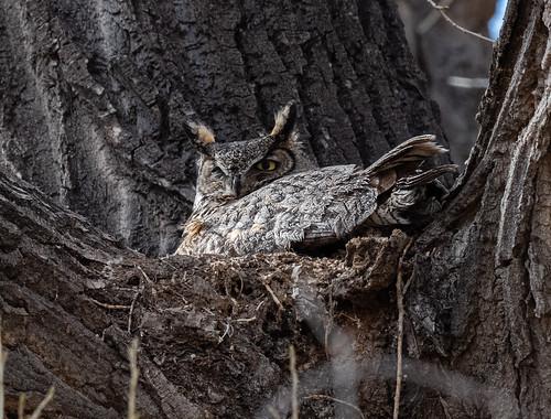 great_horned_owl_on_nest-20210327-105