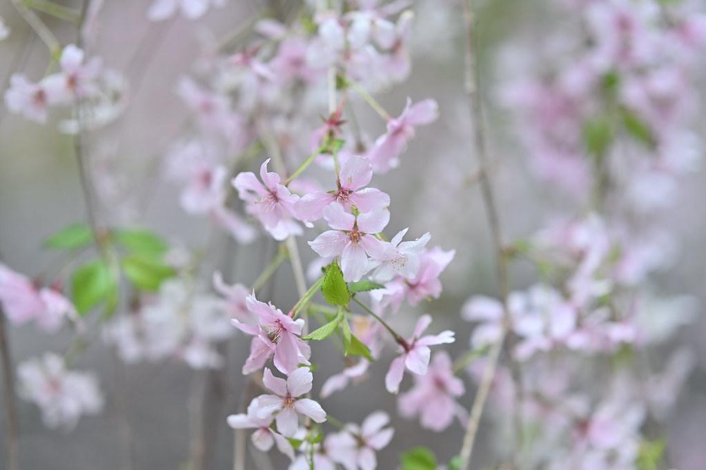 桜咲く雨の六角堂 1