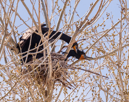 cormorant_pair_mating-20210327-113