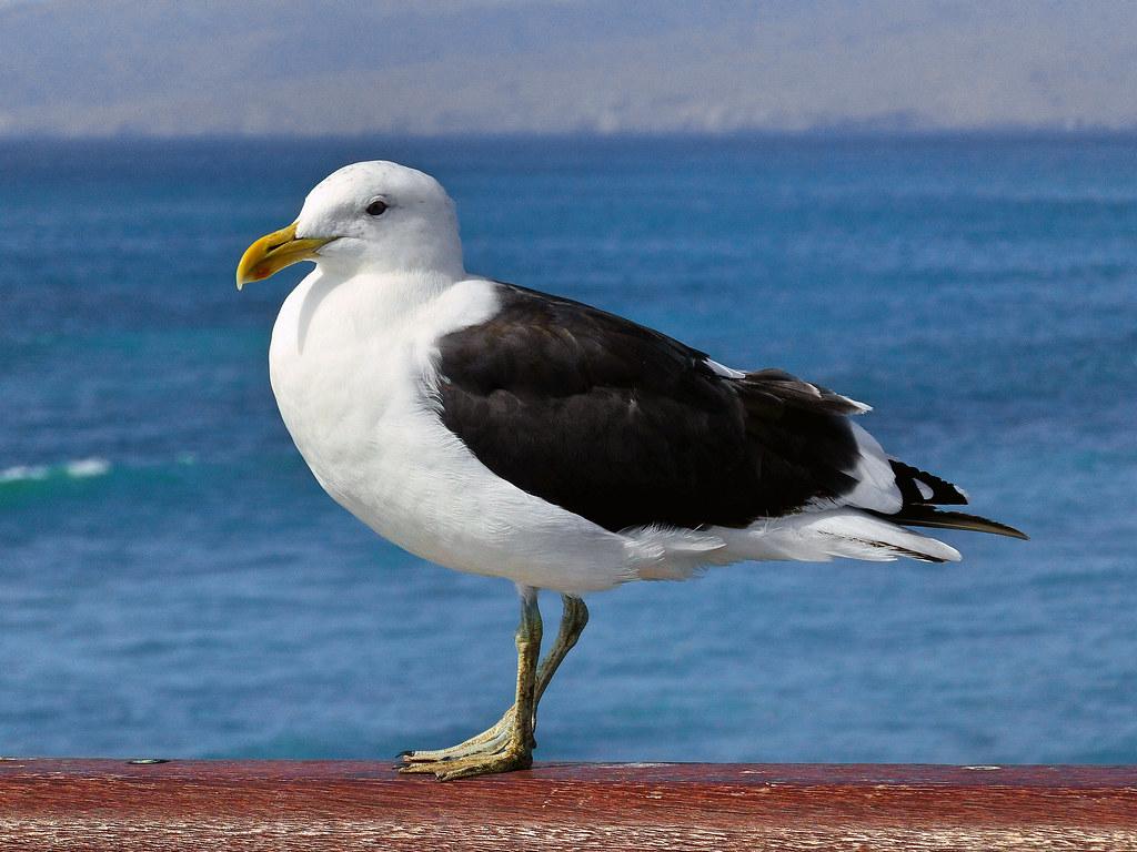 Black-backed gull New Zealand.