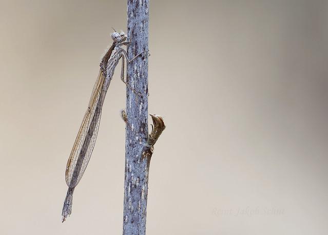 Bruine winterjuffer - Winter Damselfly - Sympecma fusca