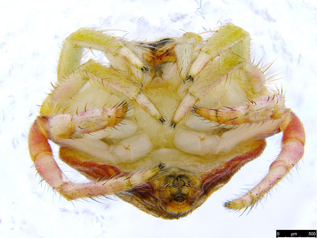1d - Araneae sp.