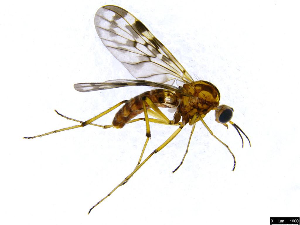 8a - Sylvicola dubius (Macquart, 1850)