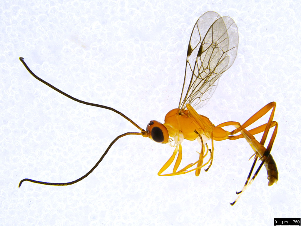 12a - Ichneumonidae sp