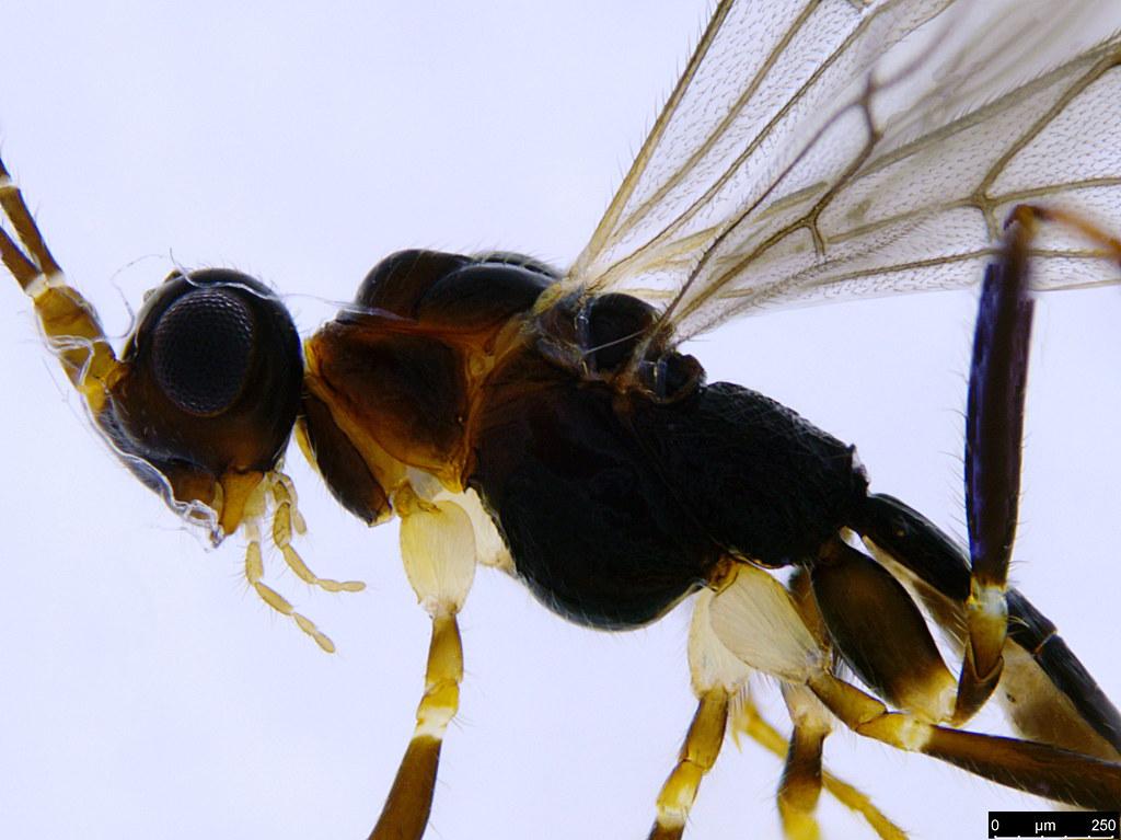 16b - Braconidae sp.