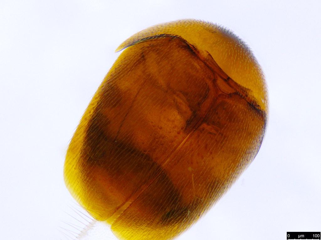 6a -  Ptiliidae sp.