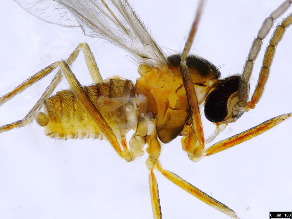 7b - Diptera sp.