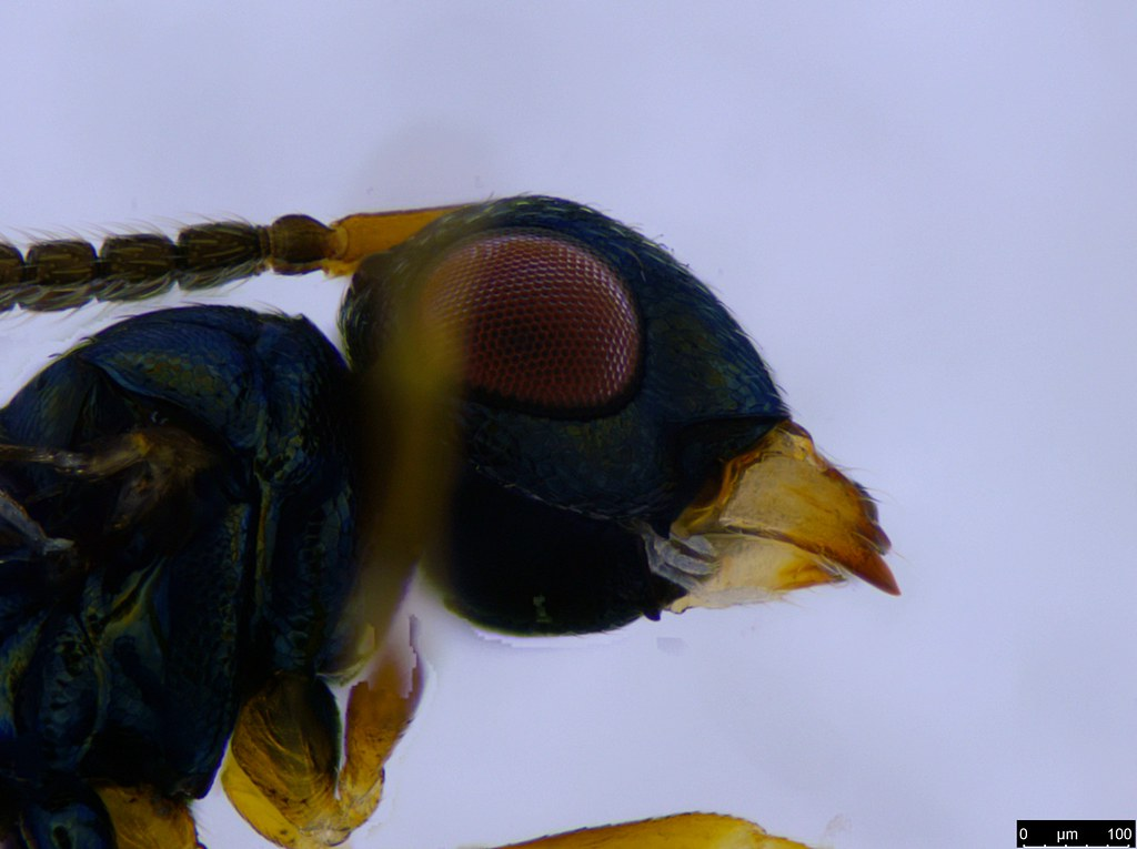 17b - Pteromalinae sp.