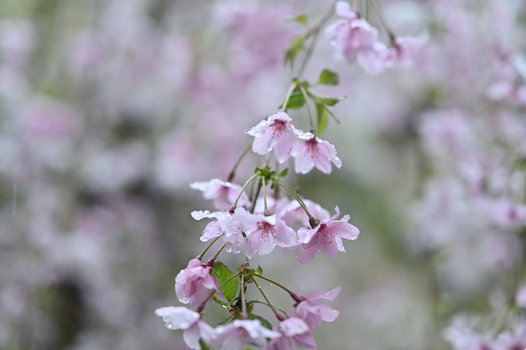 桜咲く雨の六角堂 4