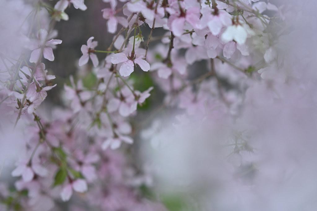 桜咲く雨の六角堂 8