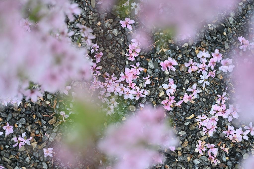 桜咲く雨の六角堂 11