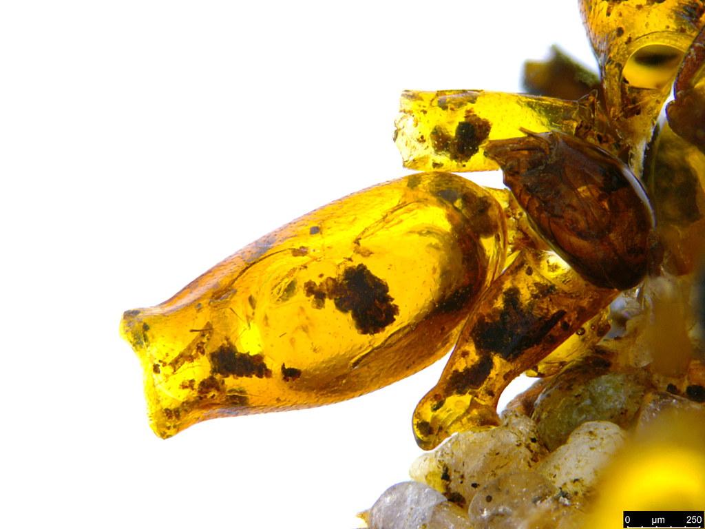 24c - Psychidae sp.