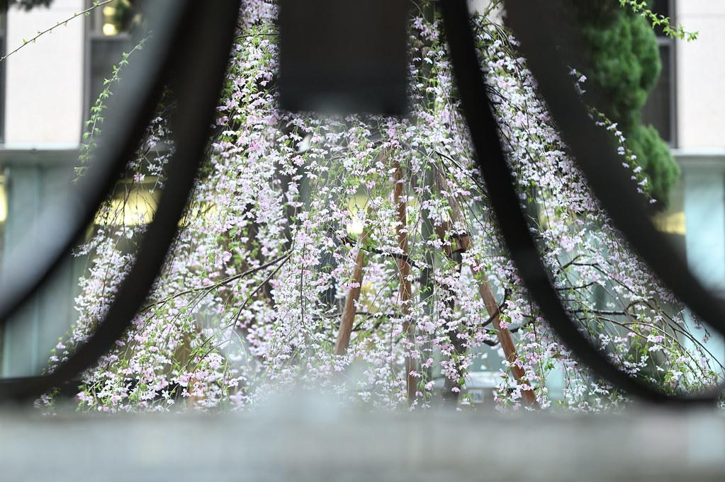 桜咲く雨の六角堂 9
