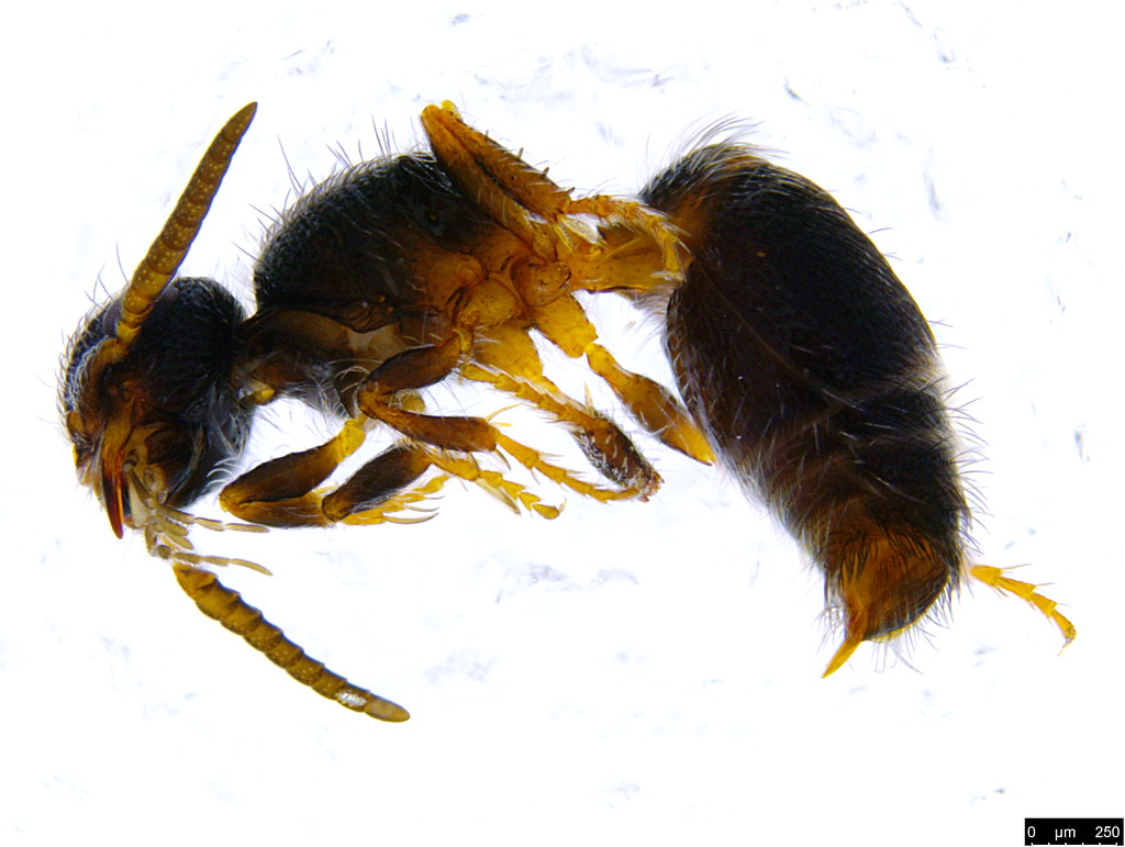 20b - Mutillidae sp.