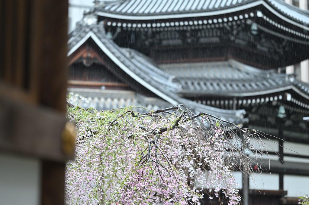 桜咲く雨の六角堂 5
