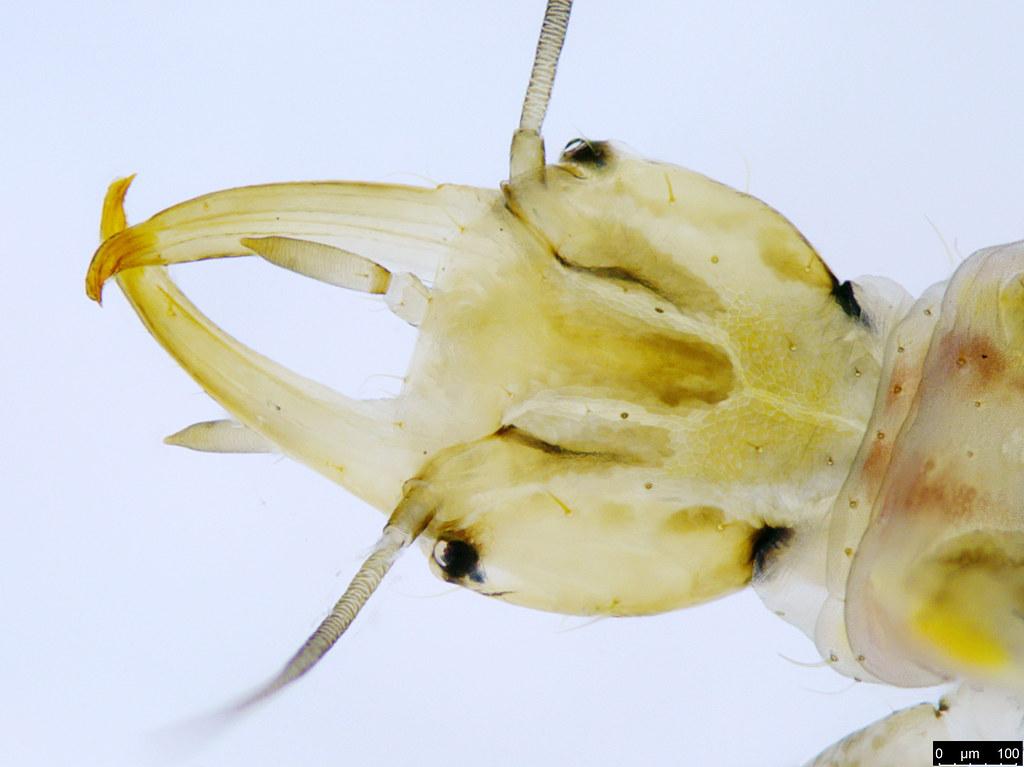 28b - Hemerobiidae sp.